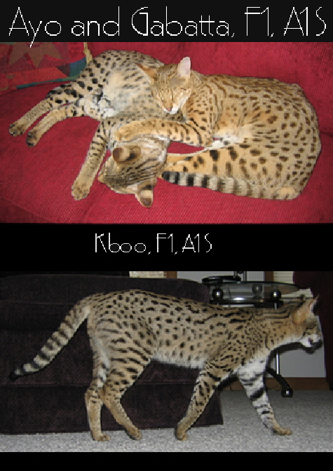AJSavannahs F1 Savannah cats Ayo, Gabatta and Kboo